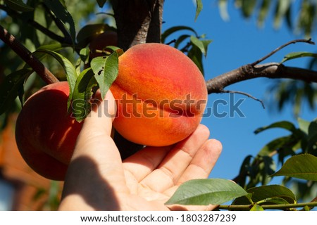 Harvesting peaches. Female hand touching fresh ripe peach on branch of peach tree in orchard.