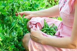 Harvesting peas. Young woman in a pink dress rips pea pods in the garden. Gardening, agriculture, sustainable lifestyle concept.