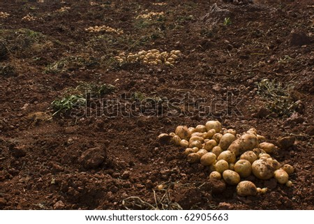 Harvesting potatoes - a picture of a farm soil with a pile of potatoes in one corner by keeping the enough Copy-Space.