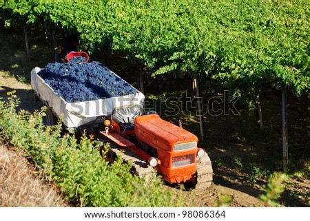 Harvesting red grapes Montepulciano in vineyards of Abruzzo, Italy