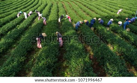 HARVESTING THE TEA IN DA LAT - VIET NAM #1071996467