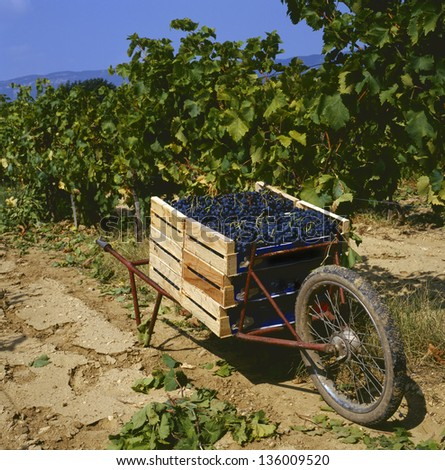 Harvesting the wine grapes at a vineyard in the Provence,France