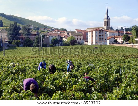 Harvesting the wine grapes in Fleurie, France