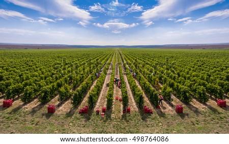 harvesting vineyard in the...