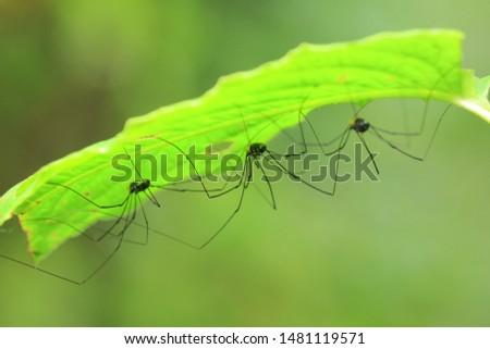 Harvestmens(Arthropoda: Arachnida: Opiliones). Under the leaf. In Taiwu,Pingtung,Taiwan. ストックフォト ©