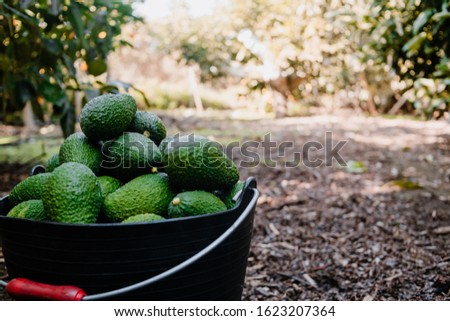 Hass avocados harvested inside of a bucket Foto stock ©