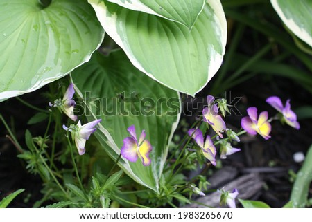 Hasta bush and wild purple and yellow  pansy flowers. With water droplets on the hasta.  Foto stock ©