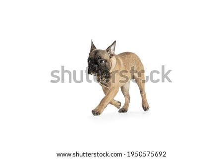 Hasten. Young brown French Bulldog playing isolated on white studio background. Young doggy, pet looks playful, cheerful, sincere kindly. Concept of motion, action, pet's love, dynamic. Copyspace. Сток-фото ©