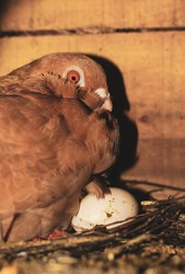Hatching eggs. Pigeon hatching eggs in the nest. Pigeon with little egg.