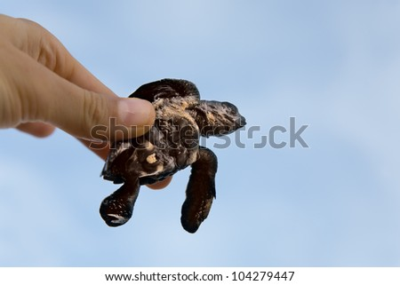 Hatchling Loggerhead  a baby inhand against sky, sri lanla island