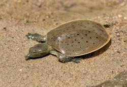 Hatchling Spiny softshell turtle (Apalone spinifera) floating above  sand creek bottom, Ledges State Park, Iowa.