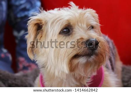 Hatty the Yorkshire terrier cross Lakeland terrier #1414662842