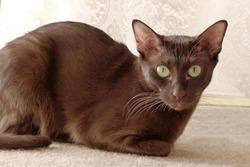 Havana brown cat on beige background