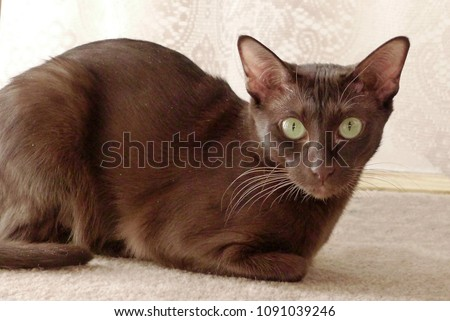 Havana brown cat on beige background