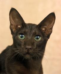 Havana Brown Domestic Cat, Portrait of Adult