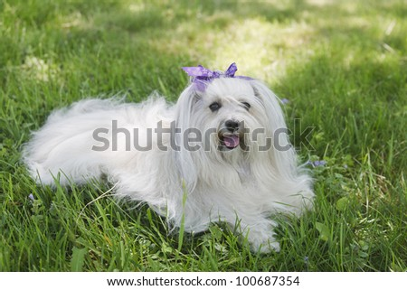 Havanese Dog lying in the grass - stock photo