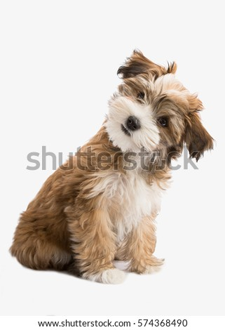 Shutterstock havanese puppy dog isolated