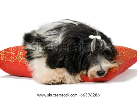 Havanese puppy lying on red xmas cushion. Isolated on a white background
