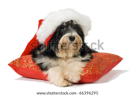Havanese puppy with Santa hat lying on red cushion. Isolated on a white background