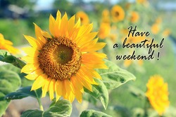 Have a beautiful weekend. Card and greeting weekend concept with beautiful sunflower blossom in the summer or spring season in field.