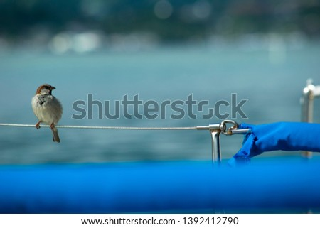 Hawaii Elepaio bird perched on a yachts railing safety line wire enjoying the view of a calm blue ocean. Perfect image for some clever graphics this bird might be looking at. Feng shui money luck pic.