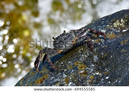 Hawaiian 'A 'ama Crab