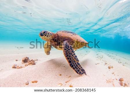Hawaiian Green Sea Turtle #208368145