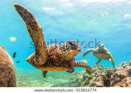 Stock Photo Hawaiian Green Sea Turtle cruising in the warm waters of the Pacific Ocean in Hawaii