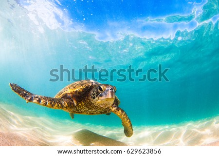 Hawaiian Green Sea Turtle Cruising in the Warm waters of the Pacific Ocean in Hawaii #629623856