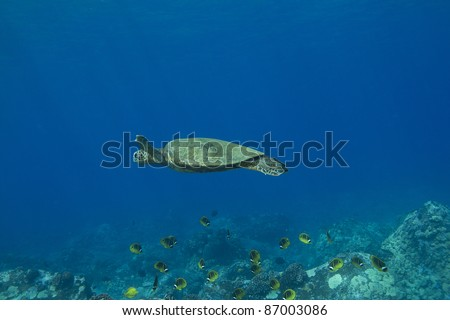Hawaiian Green Sea Turtle swimming over a school of butterflyfish.
