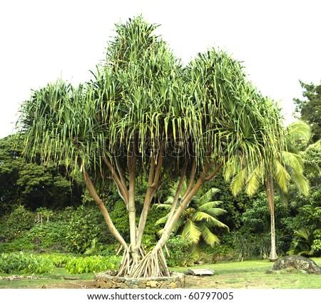Hawaiian hala tree with lauhala leaves growing in a field - stock photo