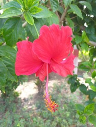 Hawaiian hibiscus are seven species of hibiscus native to Hawaii. The yellow hibiscus is Hawaii's state flower.Most commonly grown as ornamental plants in the Hawaiian Islands are the Chinese hibiscus