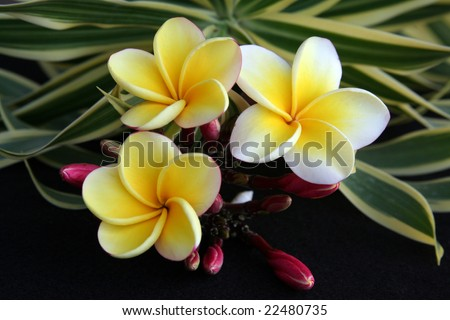 Hawaiian Plumeria flower used for making leis.