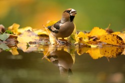 Hawfinch came to the watering place. Birds near the water. Hawfinch during the autumn time in the forest. European nature.