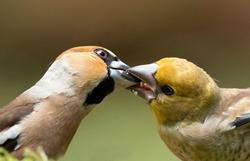 Hawfinch (Coccothraustes coccothraustes) feeding a juvenile