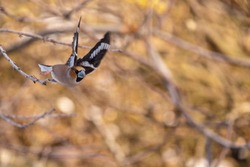 Hawfinch flyong in forest