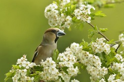 hawfinch sits on the blooming twig . (Coccothraustes coccothraustes) Wildlife scene from nature. Spring in the nature. Flowering twig with a beautiful song bird.
