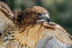 Hawk at Adirondack Wildlife Refuge Upstate New York