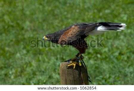 Hawk at bird show