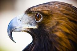 hawk close up eye