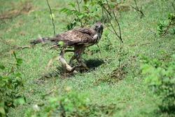 Hawk eagle with its prey at yala national park in Sri Lanka
