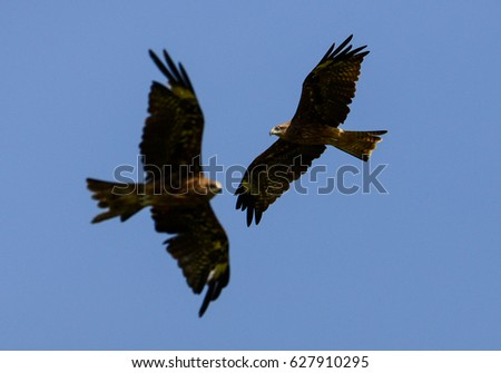 Shutterstock hawk fly crossing each other in the air with main focus at one hawk and blur another