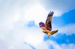 Hawk fly in sky. Hawk in fly