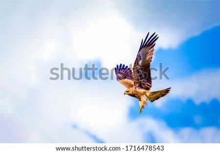 Hawk fly in sky. Hawk wings Сток-фото ©