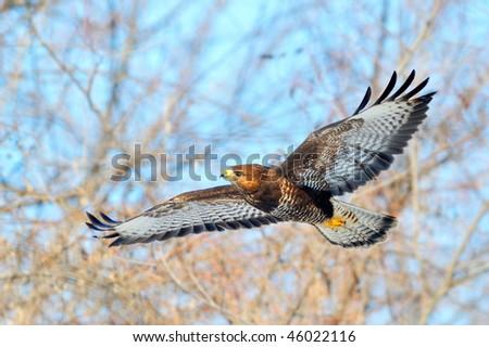 hawk flying (buteo lagopus)