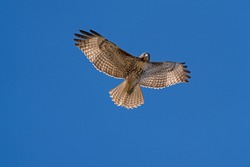 Hawk flying high above in the blue sky