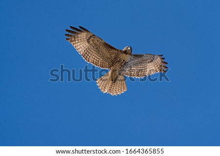 Hawk flying high above in the blue sky Stock photo ©