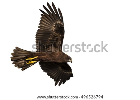 Shutterstock hawk flying isolated hawk on white background