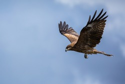 Hawk flying over. Blue sky in the background