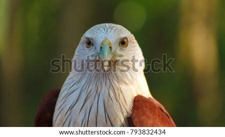 Shutterstock Hawk, Hawk eyes, red wing color hawk